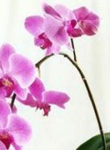 Цветы орхидеи: как ухаживать