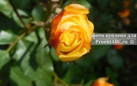 Парковая роза: посадка и уход