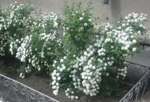 цветущая спирея вангутта фото