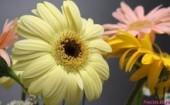 Гербера садовая: посадка и уход