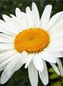 Ромашка садовая - посадка и уход