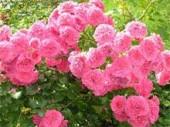 Почвопокровные розы посадка и уход