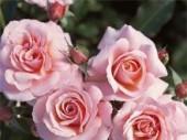 Розы флорибунда: посадка и уход
