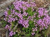 Тимьян - выращивание из семян